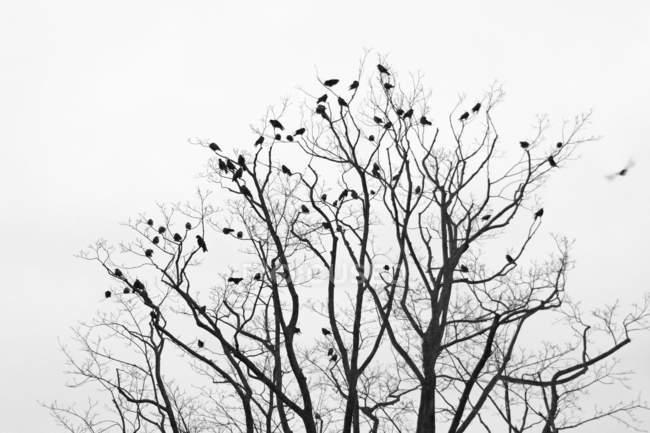 Corvos em galhos nus — Fotografia de Stock