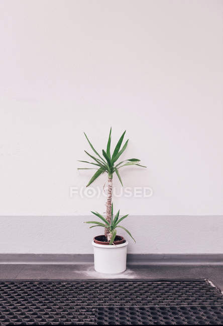 Growing houseplant in pot, tiny palm tree — Stock Photo