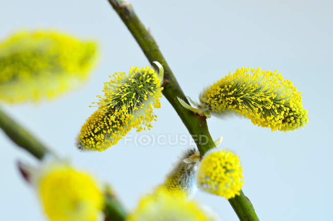 Closeup of spring yellow catkins on bush — Stock Photo