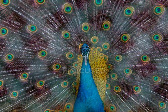 Птица Павлин, портрет Красивый павлин перьями, показаны хвост — стоковое фото