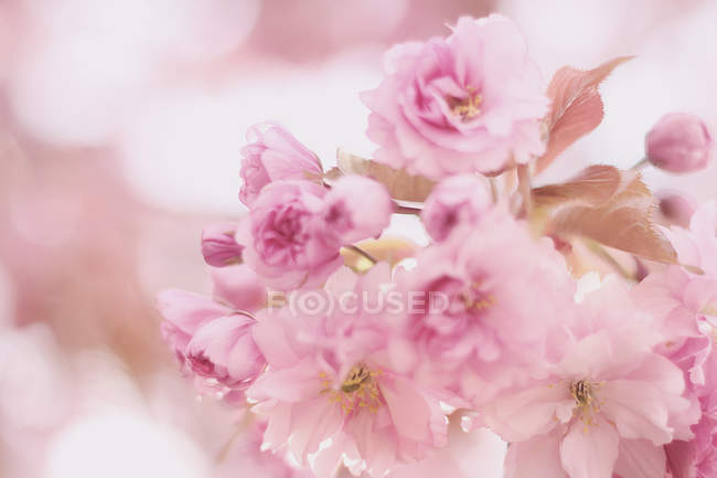 Blooming sakura branch — Stock Photo