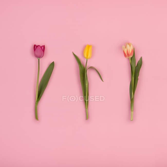 Bei tulipani su carta rosa — Foto stock