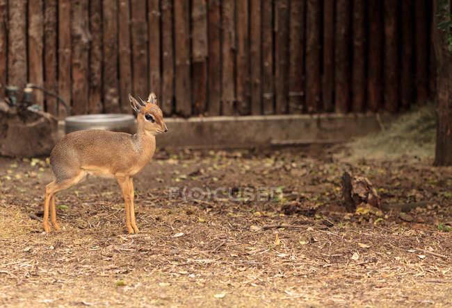 Vista do bonito fulvo cervo no celeiro — Fotografia de Stock