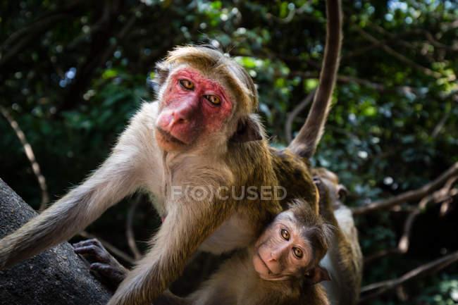 Macaco macaco sentado na árvore com bebê — Fotografia de Stock