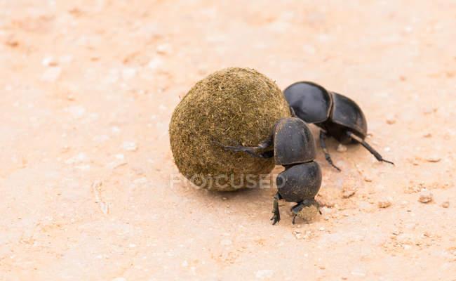 Vista ravvicinata di scarabeo coleotteri con sterco — Foto stock