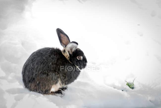 Чёрный кролик, сидя на белом снегу — стоковое фото