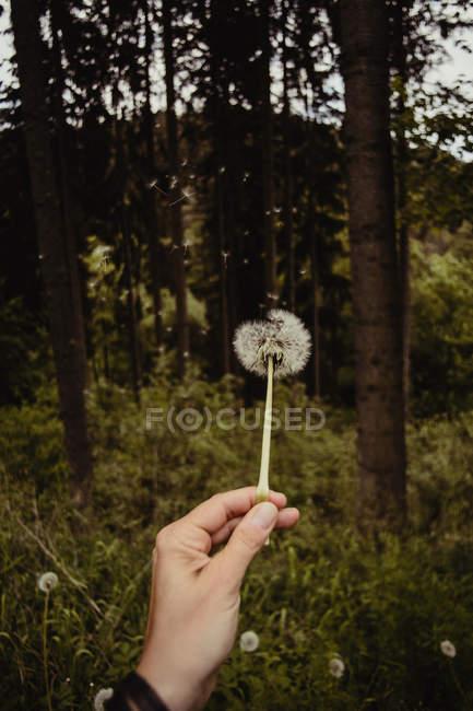Рука Холдинг одуванчика цветок — стоковое фото