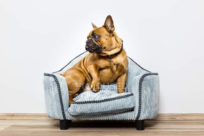 Fench bulldog sur fauteuil — Photo de stock