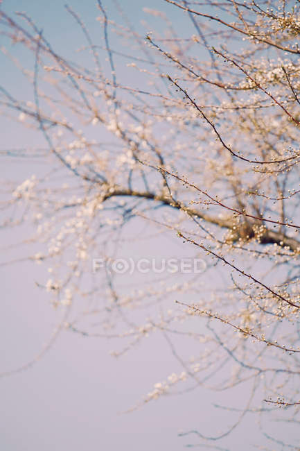 Spring buds on tree branches in sunlight — Stock Photo