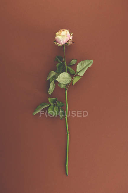 Rosa Rose auf dunkelrot — Stockfoto