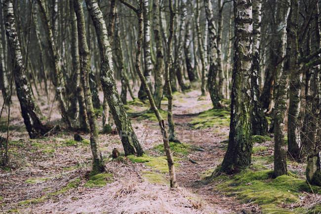 Birch Grove at summer — Stock Photo