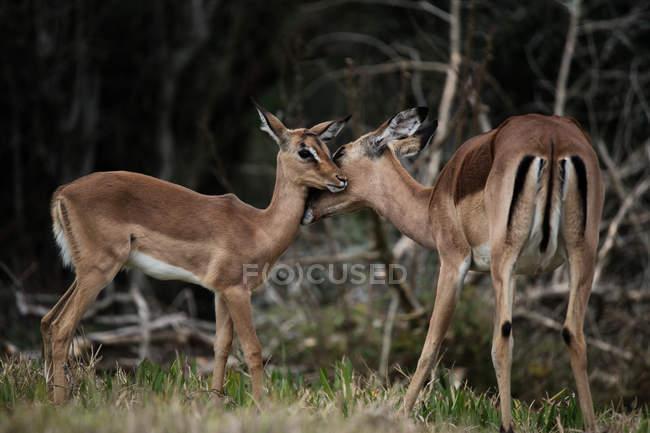 Vista di antilope leccare vitello nella foresta — Foto stock