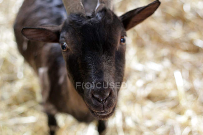 Close-up view of black goat looking in camera — Stock Photo