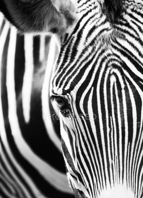 Primo piano della testa della zebra, fuoco selettivo — Foto stock