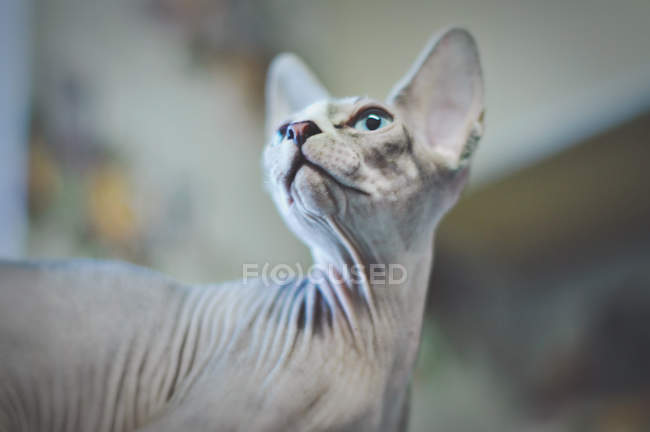 Sphynx chat levant — Photo de stock