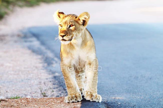 Filhote de leão andando na estrada — Fotografia de Stock