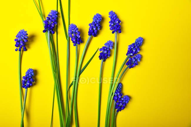 Fond jaune avec fleurs bleues — Photo de stock