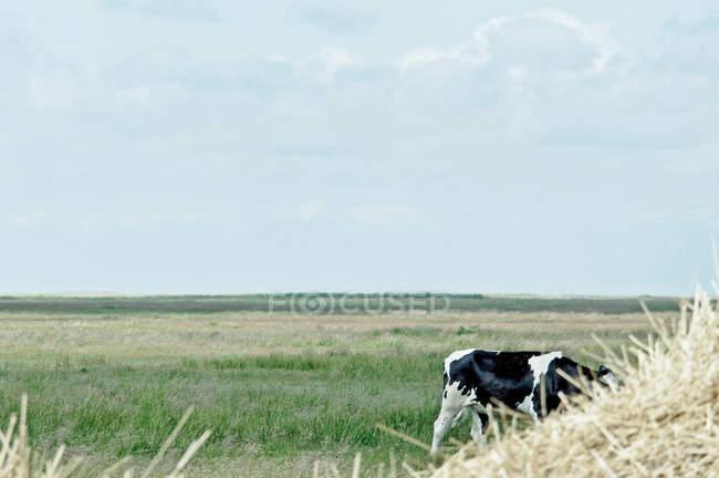 Vaca pastando en campo verde - foto de stock