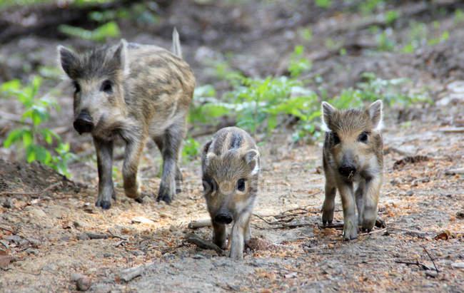 Porcellini del cinghiale in boschi camminare — Foto stock
