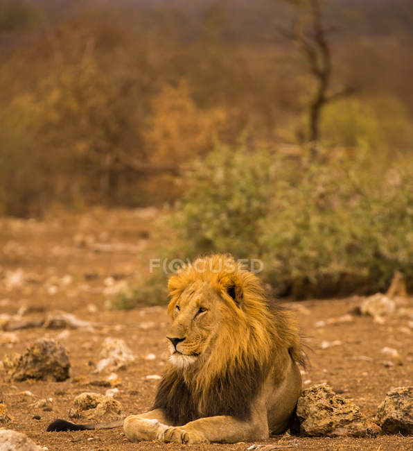 Lion lying on the ground — Stock Photo