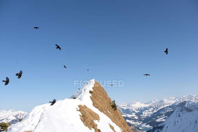 Птахи в снігу покриті гори Роше de naye — стокове фото