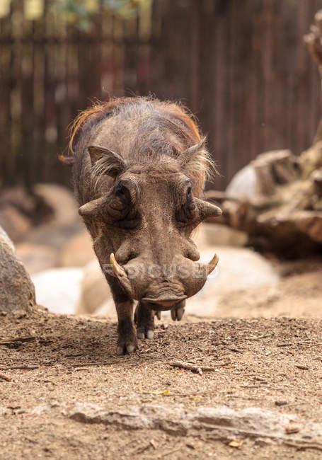 Common warthog walking in paddock — Stock Photo