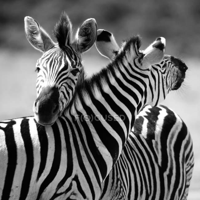 Обрезанный вид двух общих зебр, лежа головы друг на друга — стоковое фото