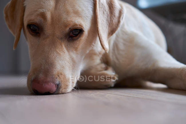 Chien de race Labrador — Photo de stock