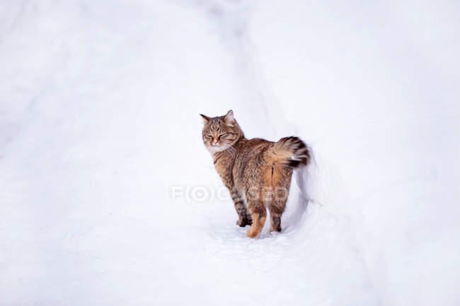 Katze auf dem Schnee wandern — Stockfoto
