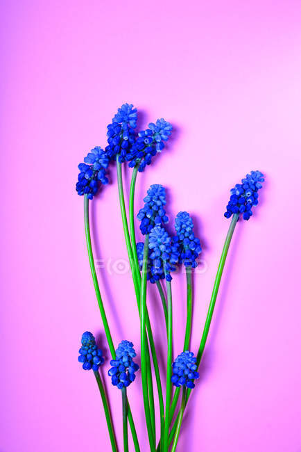 Blue spring flowers on pink — Stock Photo