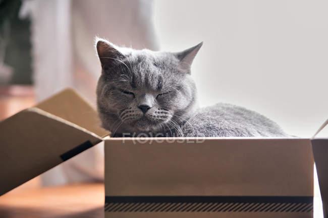 Красивий сірий кіт спати в коробці. — стокове фото