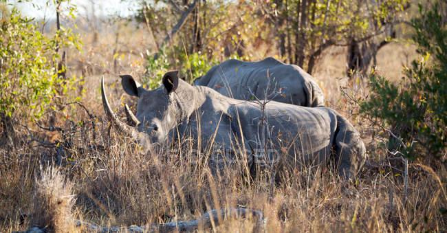 Вид носорогов в естественной среде обитания — стоковое фото
