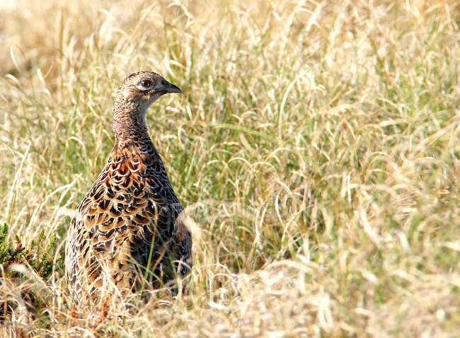 Closeup view of wild pheasant bird in meadow grass — Stock Photo