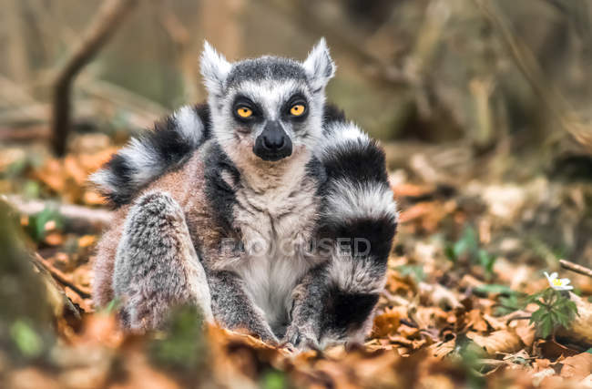 View of ring-tailed lemur sitting in foliage and looking in camera with sceptical gaze — Stock Photo