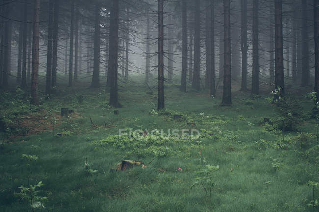 Landscape with forest in foggy weather — Stock Photo