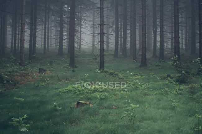 Paesaggio con foresta in tempo nebbioso — Foto stock