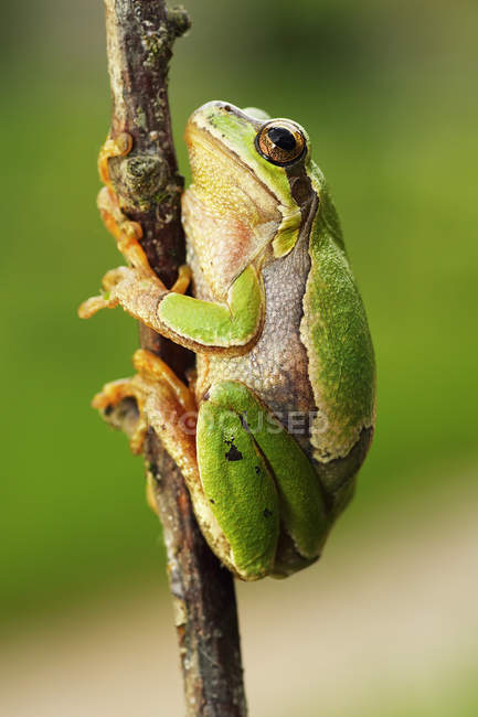 Frog climbing on the tree branch — Stock Photo