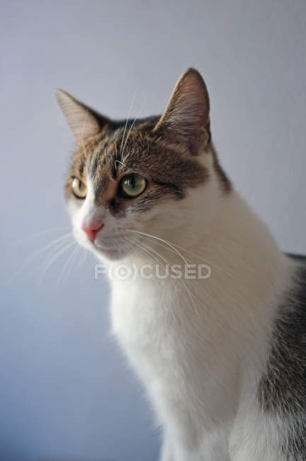 Gray and white cat sitting on blue — Stock Photo