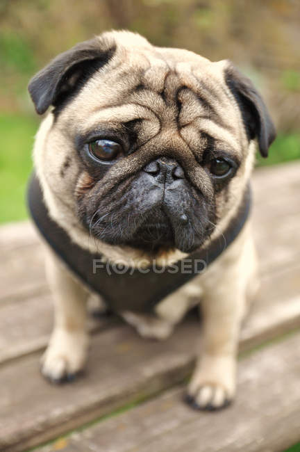 Close-up view of pug looking in camera — Stock Photo