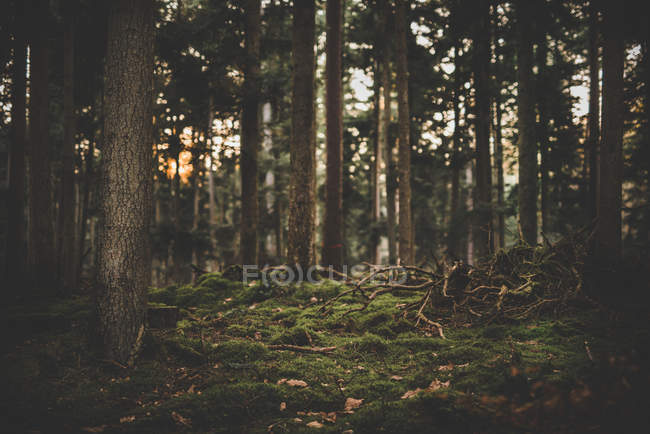 Forest glade with green moss — Stock Photo