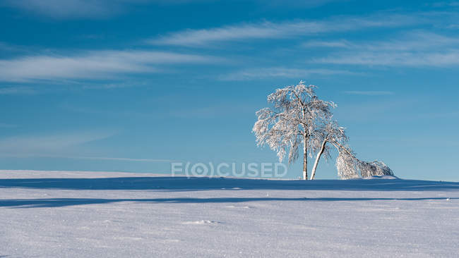 Trees on snowy field in sunny daytime — Stock Photo