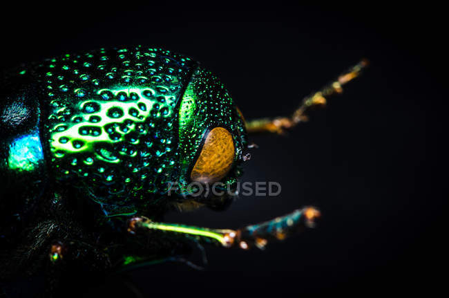 Colorful glimmering beetle in dark closeup view — Stock Photo