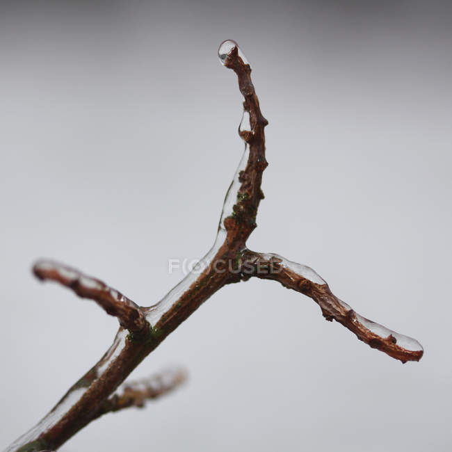 Branches with leaves buds covered with ice — Stock Photo