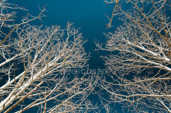 Ramas de los árboles de Aspen - foto de stock