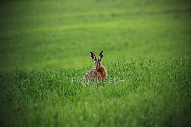 Wild hare sitting in green field — Stock Photo