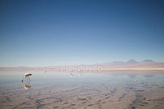 Фламінго, стоячи в озері — стокове фото