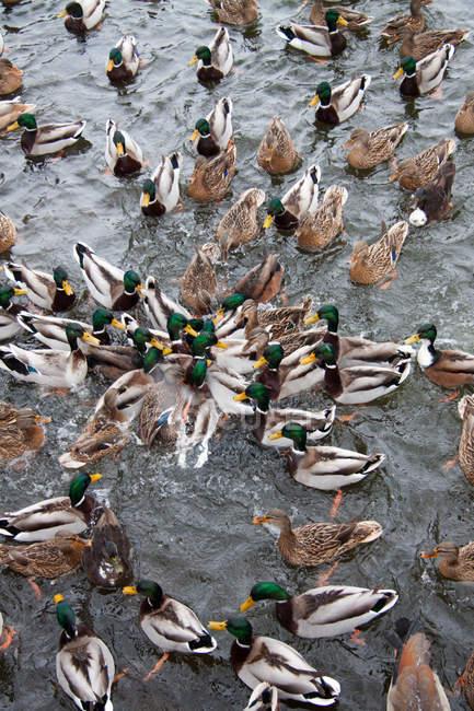 Vue grand angle du radeau de canards sur la nourriture capture lac — Photo de stock