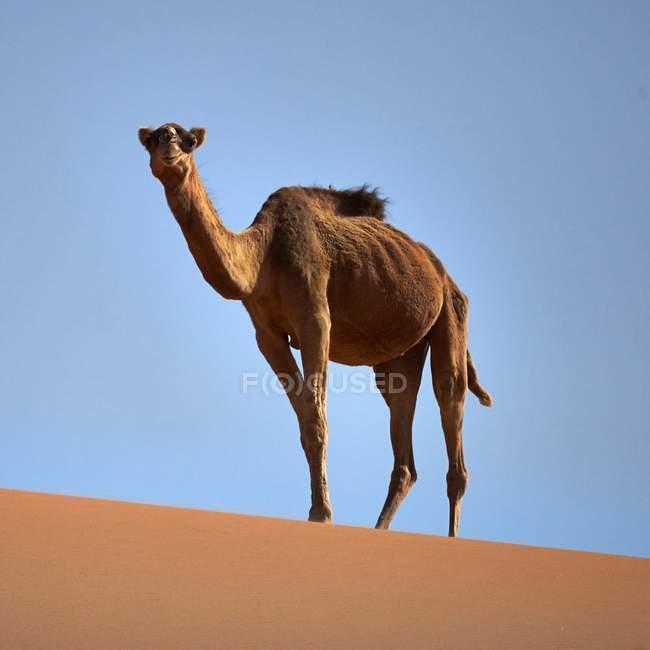 Dromedary верблюда, стоячи в пустелі — стокове фото