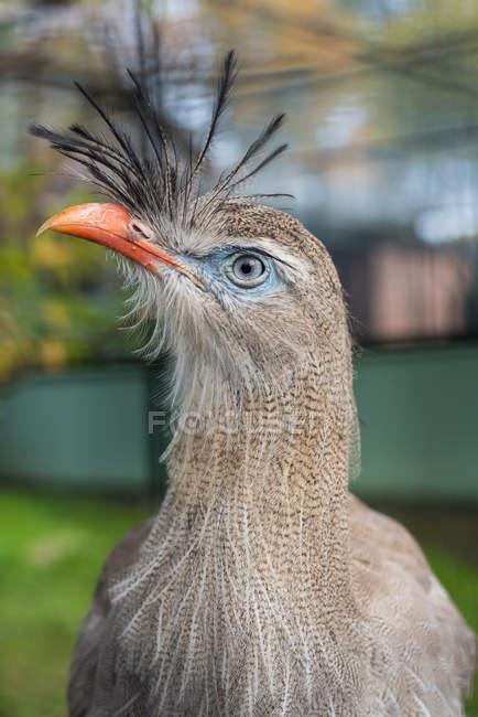 Крупным планом зрения фазан птиц голова — стоковое фото