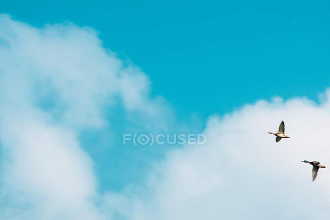 Wildgänse fliegen in blauen Himmel — Stockfoto
